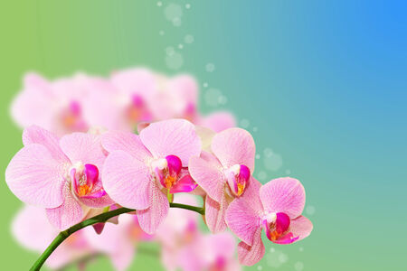 Spotted pastel orchid flowers on gradient blurred summer background with free area for your text photo