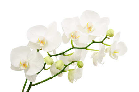 Long branches of bouquet delicate white orchid flowers isolated
