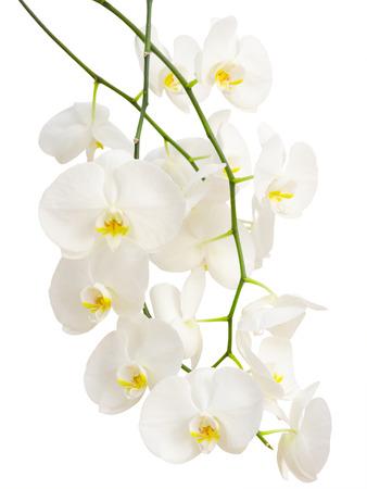 Lange elegante takken van witte romantische orchidee bloemen geïsoleerd