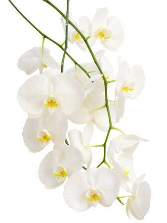 Long elegant branches of white romantic orchid flowers isolated photo