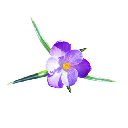 One small crocus flower with leafs isolated on white photo