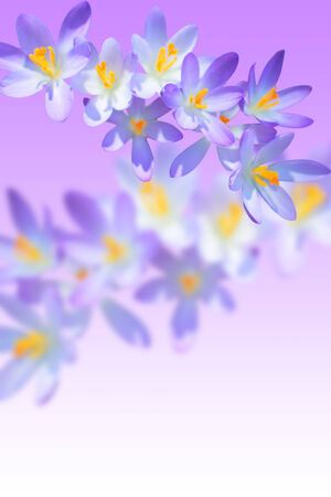 Iris spring flowering on blurred background with copy-space free place