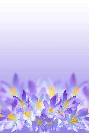 Violet spring crocus flowers on blurred background with copy-space for your text
