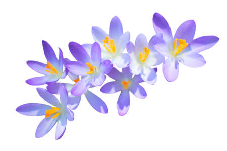 Lilac spring crocus flowers isolated on white photo