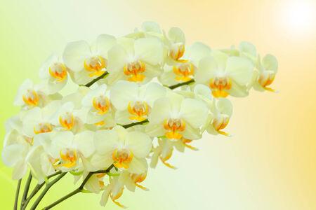 Zomer boeket van beige orchidee bloemen op gradient achtergrond