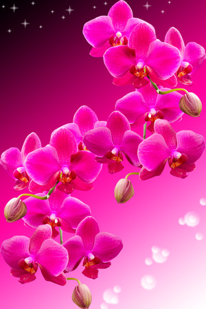Tropical purple flowers of beautiful orchid on dark gradient background photo