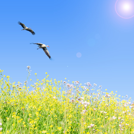 White storks couple fly together against clear blue sky over spring flowering herbs Stok Fotoğraf