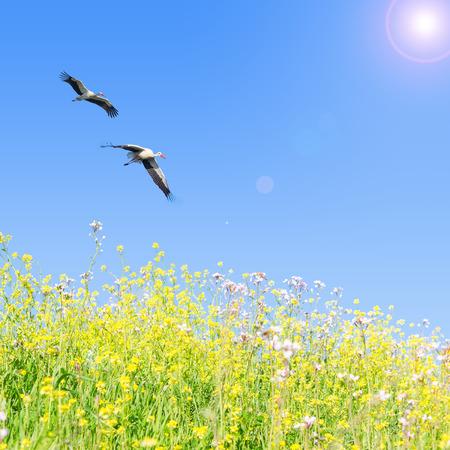 Witte ooievaars paar vliegen samen tegen de heldere blauwe hemel over de lente bloeiende kruiden Stockfoto