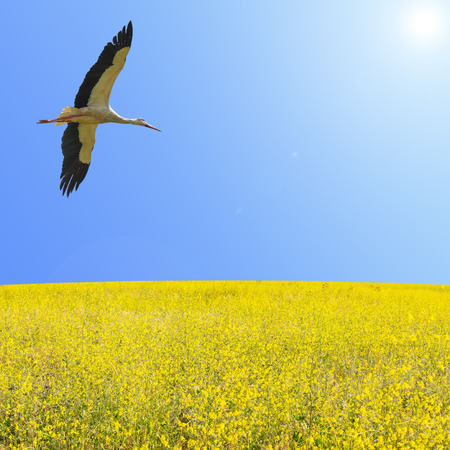 Alone stork fly in clear blue sky over spring flowering yellow field with free copy-space area for text