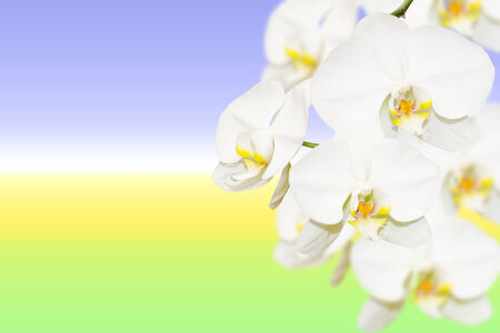 Pure white orchid flowers on natural blurred gradient background with copy-space photo