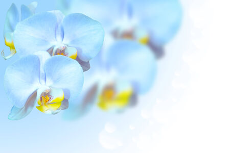 Tropical exotic blue orchid flowers over gradient blurred background with free area for text photo