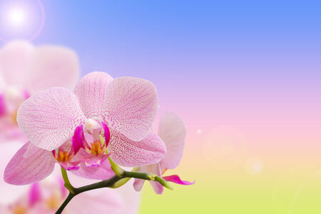 Romantic pink spotted orchids on natural gradient background with free area for your text photo