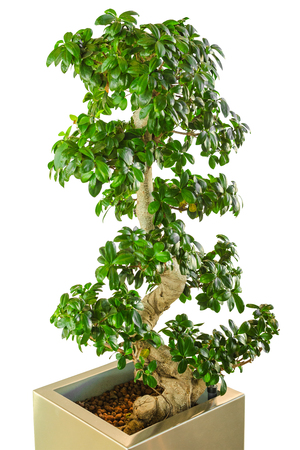 Bonsai ficus tree - old Japanese traditional art as decor for modern office. Vertical, isolated on white background. Stock Photo