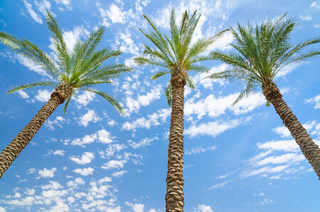 Three date palms against deep blue sky with clouds photo