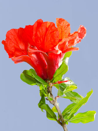 ovary: Bright red pomegranate flowers ovary and petals against clear blue sky Stock Photo