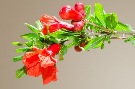 Zonovergoten tak met lente rode granaatappel bloesem op gradient achtergrond