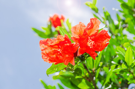 Pomegranate spring blooming branch with backlit red flowers against blue sky