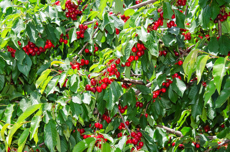 leafage: Many red sweet ripe cherry berries in leafage on tree branches