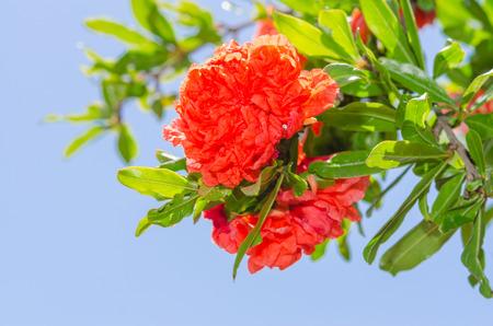 Levendige rood gekleurde Japanse kweepeer lentebloemen op zonovergoten bush