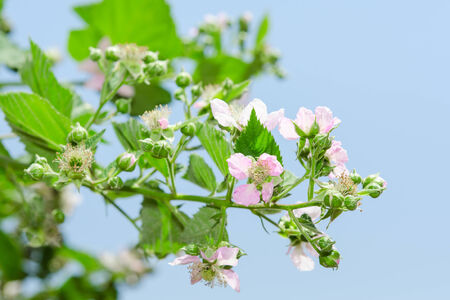 leafage: Summer raspberry blossoming bush with purple flowers and lush leafage against clear blue sky