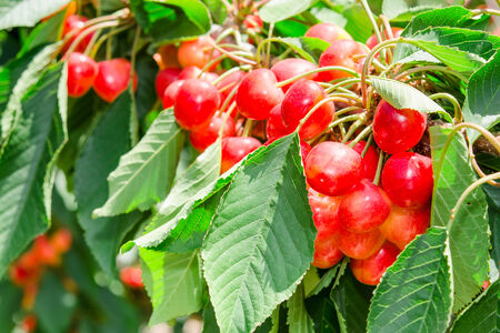 leafage: Many beautiful rainier cherries berries shiny bunches in leafage on the tree branch in orchard sunny garden Stock Photo