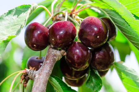 Bunches of ripe juicy cherry dark bordo berry on tree branch with sunlit leafage