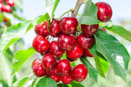 Branch of cherry tree with dark red ripe berries and sunlit leafage against blue sky