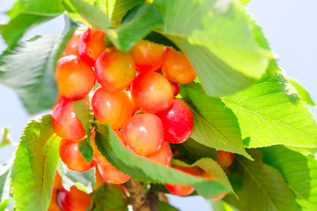 Rainier white ripe cherry berry sweet and juicy fruits in sunlit foliage on branch of tree
