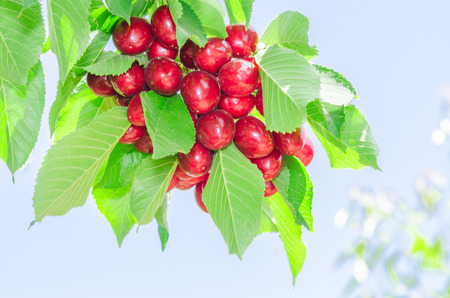 leafage: Bunch of vivid red ripe appetizing cherry berries on summer sunlit tree branch with lush leafage in sunny orchard against clear blue sky