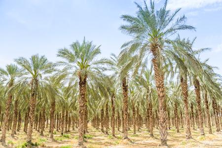 Date figs palms orchard in Middle East desert Israel Galilee Jordan valley