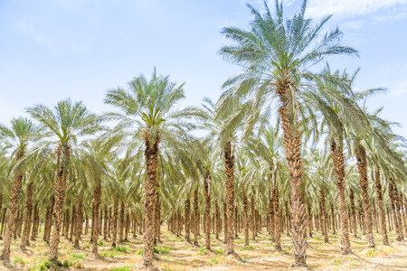 Date figs palms orchard in Middle East desert Israel Galilee Jordan valley