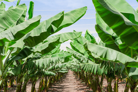Lush leafage of banana palm trees in orchard plantation rows - oasis in Israel desert Standard-Bild