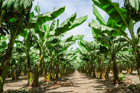 Sunny perspective trail between banana palm trees rows in orchard plantation with lush foliage