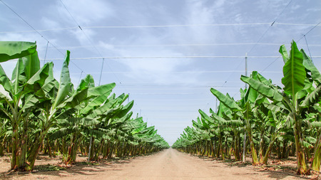Road stretches to the horizon in palm orchard between banana trees rows plantations in Middle East Stok Fotoğraf