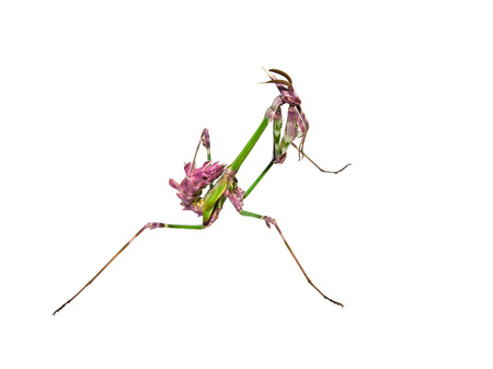 Mantis insect with courtship coloration in praying posture isolated on white