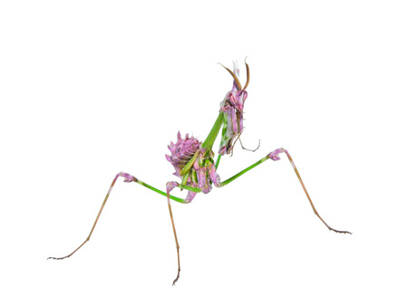 cannibal: Predatory mantis insect with mimicry coloration and prickly forefoots isolated on white Stock Photo