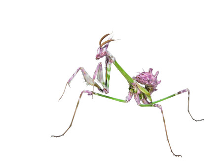 wingless: Mantis insect predator in hunting pose with long spiked legs isolated on white background