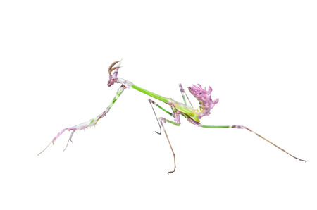 wingless: Mantis raptor with long spiked forelegs in attack pose catches prey isolated Stock Photo