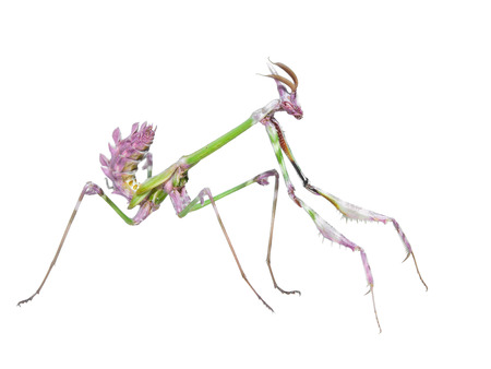 cannibal: Dangerous predator mantis insect catches prey with long spiked forelegs isolated on white background Stock Photo