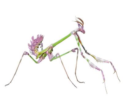 Gevaarlijk roofdier sprinkhaan insect gevangen prooi met lange puntige voorpoten op een witte achtergrond