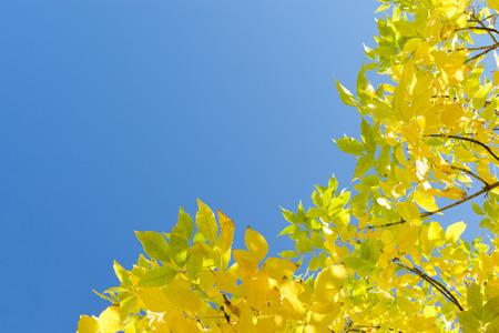 Gouden herfst gele bladeren tegen heldere blauwe hemel. Hoek frame achtergrond met gratis exemplaar-ruimte voor tekst. Stockfoto