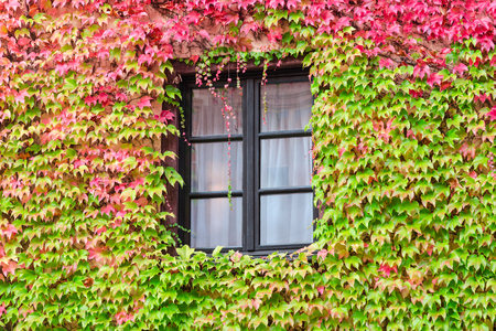 leafage: Window in an old traditional European country house with overgrown wall by autumn wild grape and green red leafage Stock Photo