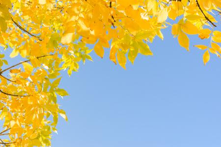 cielo despejado: Veranillo de San Mart�n - oro amarillo del oto�o deja en claro cielo azul. Fondo del cap�tulo con esquina y copyspace lugar libre para el texto. Foto de archivo