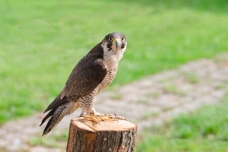 merlin falcon: Tamed and trained for hunting fastest bird predator falcon or hawk perched on stump and staring into the camera lens