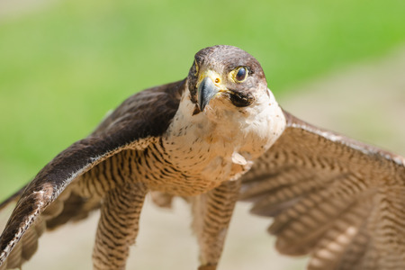 merlin falcon: Small but fast predator wild bird falcon or hawk with spread wings close up shot