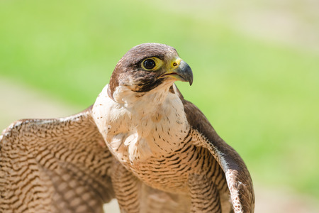 merlin falcon: Small and fastest raptor bird peregrine or accipiter with spread wings against green sward background Stock Photo