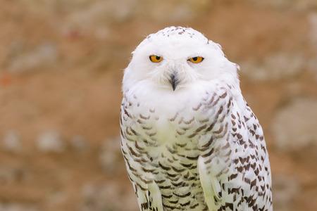 Portret van wilde stille roofvogel vogel witte sneeuwuil staren naar de camera lens met gele ogen
