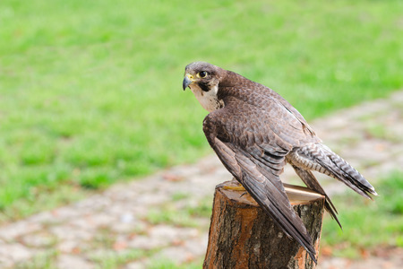 merlin falcon: Wild falcon predator hawk fastest raptor bird of prey perched on stump and spread their wings against green grass with free copy-space area for text