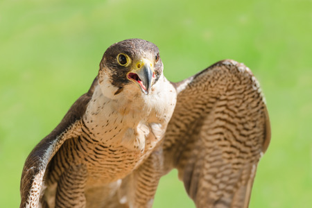 merlin falcon: Fast bird predator accipiter or peregrine with spread wings and open beak against green grass background Stock Photo