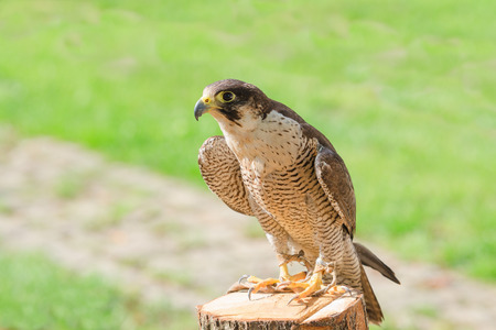 domesticated: Trained and domesticated for hunt the fastest raptor bird hawk or falcon seated on stump with free copyspace place